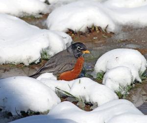 A robin taking it all in stride.