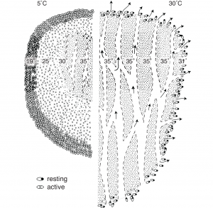 Figure 2. Temperature profiles of a swarm at low (5oC=41oF) and high (30oC=86oF) ambient temperatures. Diagram shows the positions of bees, channels for ventilation, losses of heat (arrows), and areas of active metabolism (crosses) and resting metabolism (dots). From Honeybee Democracy (Princeton University Press) and used with permission from the author.