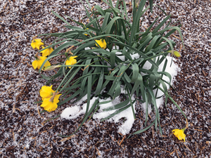 Cold Daffodils. Could it be that the blooms hand downward to restrict frost damage?