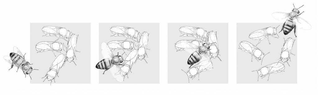 Figure 3. Panel 1: The buzz-runner runs towards the quiet bees. Panel 2: One second later, the buzz-runner makes contact with the cluster, spreads her wings, and buzzes the other bees. Panel 3: One second after making contact, the buzz-runner continues pushing through the cluster, still buzzing her wings. Panel 4: Bee is still buzzing her wings as she runs off. Drawing by Barrett Klein, from Honeybee Democracy (Princeton University Press) and used with permission from the author.