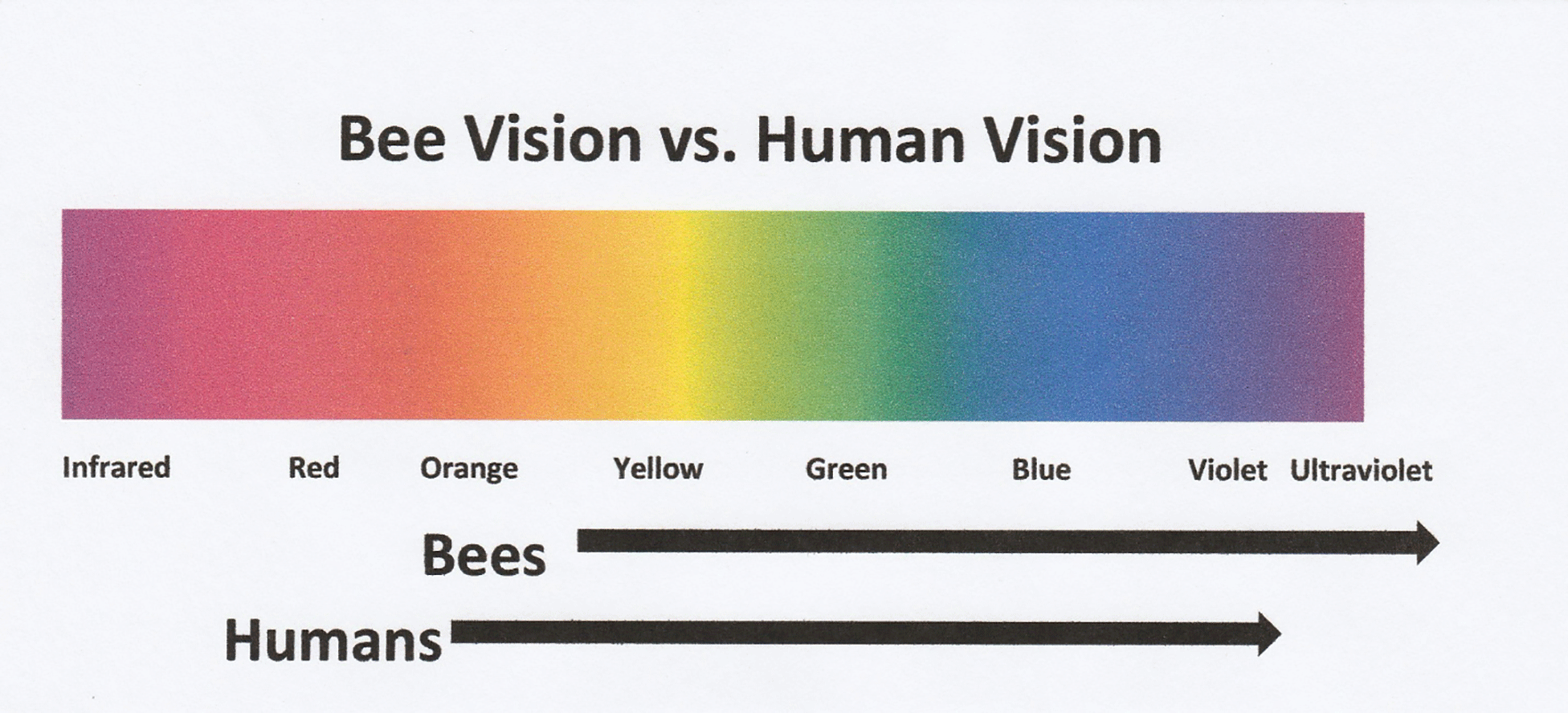 How Bees See And Why It Matters Bee Culture Simple Human Eye Diagram Our Eyes Work 4eyes