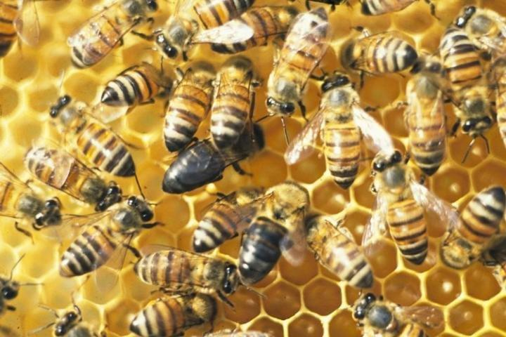 An isolated population of honeybees, the Cape bees, living in South Africa has evolved a strategy to reproduce without males. A research team from Uppsala University has sequenced the entire genomes of a sample of Cape bees and compared them with other populations of honeybees to find out the genetic mechanisms behind their asexual reproduction. Credit: Mike Allsopp