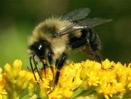"""A handy pocket card called """"Common Bees of Ohio"""" shows 16 helpful pollinators like this bumble bee. (Photo: David Cappaert, Bugwood.org.)"""
