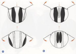 Transverse sections through the thorax showing the main flight muscles during the upstroke (upper pair of diagrams) and during the downstroke (lower pair). a) Direct and indirect dorsoventral flight muscles, and b) indirect dorsoventral and longitudinal muscles. Muscles shown dark when contracted, light when relaxied and stretched. Heavy arrows show direction of wing movement. Light arrows indicate direction of movement of the roof (notum) of the thorax. (Taken from Form and Function, Lesley Goodman)