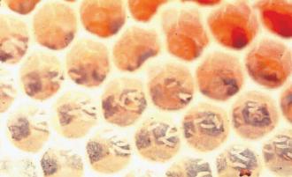 Worker brood produces worker brood phermone.