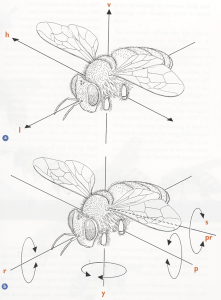 Diagram showing a) the bee's three axes of translational movement, and b) the rotation about them. a) Vertical, up and down, lift (v); longitudinal, forwards and backwards, thrust (l); horizontal, lateral, side to side, sideslip (h). b) Yaw (y), roll (r), pitch (p). The dotted line represents the axis about which the wing can rotate: supination (s), pronation (pr). (Taken from Form and Function, Lesley Goodman)