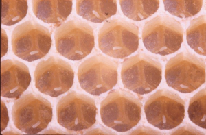 A normal queen places a single egg in a cell at the very bottom.