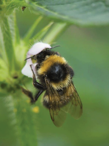 The long-tongued bumblebee, Bombus hortorum, distributed across much of Europe, is a common pollinator of plants. (photo by Rasbak)