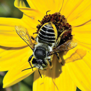 The Leafcutter bee (Megachile sp.) pollinates alfalfa that provides forage for dairy and beef cattle. (photo by Jacopo Werther)