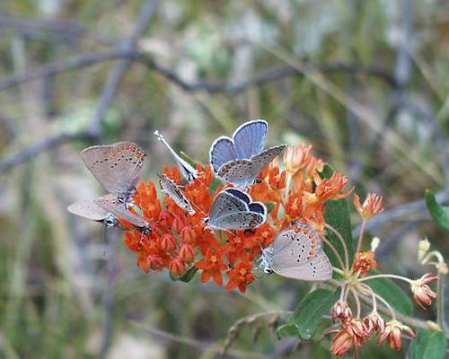 Cluster of Karner Blue Butterfly on Butterfly Weed on the Huron-Manistee National Forest.