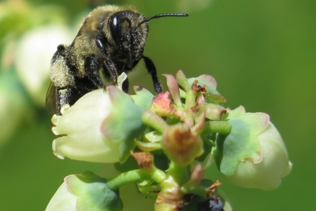 Scott McArt A digger bee forages on blueberry flowers. Previous research has shown that bees pass parasites and pathogens to each other when they forage on wildflowers, but the details of exactly how disease is spread through diverse communities of bees is unclear.