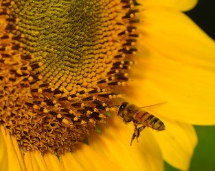 CATCH THE BUZZ – Air pollutants degrade floral scents and increase insect foraging times