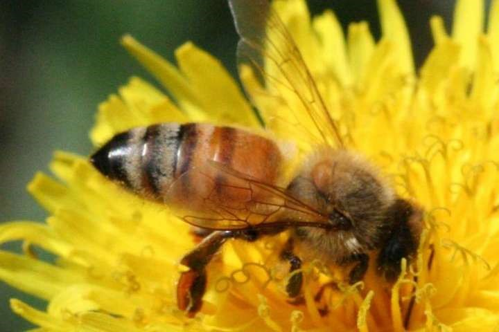 CATCH THE BUZZ – Researchers discover how honey bees 'telescope' their abdomens