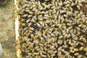 Worker honey bees recognize their own queen, from odors from the hive, or pheromones from the queen.