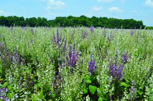 A field of clary sage in easter NC.