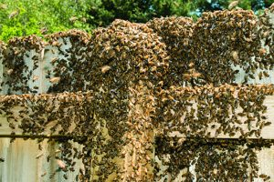 Swarming bees clustering around a caged queen.