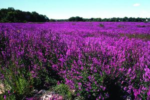 Purple Loosestrife is a good honey plant, but tends toward invasive. (photo from WatershedCouncil.org)