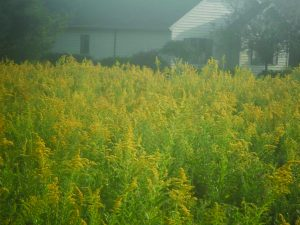 Goldenrod may not be as valuable as it once was.