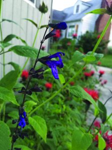 Indigo salvia with our bee balm.