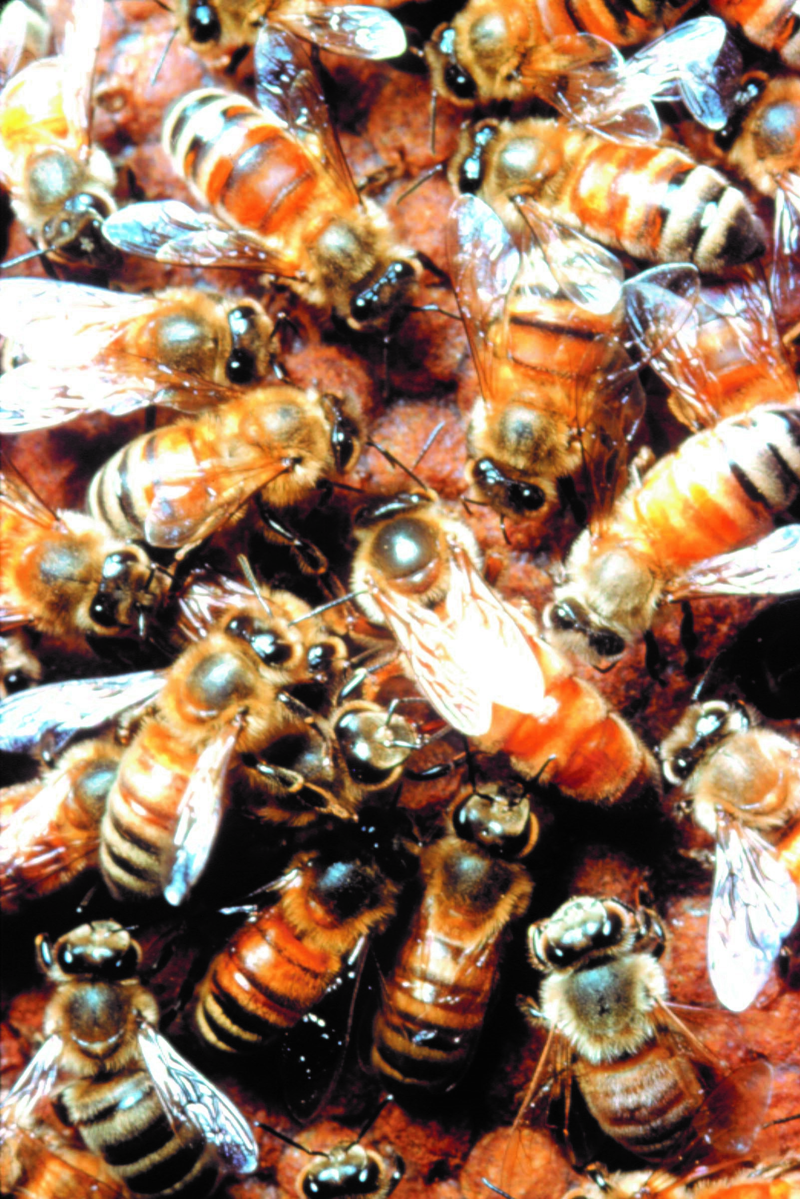 CATCH THE BUZZ – Researchers identify how queen bees repress workers' fertility