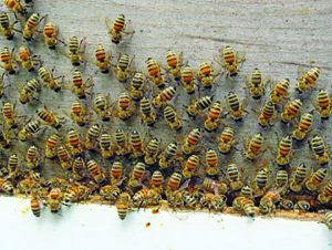 Worker bees hard at work – washboarding.