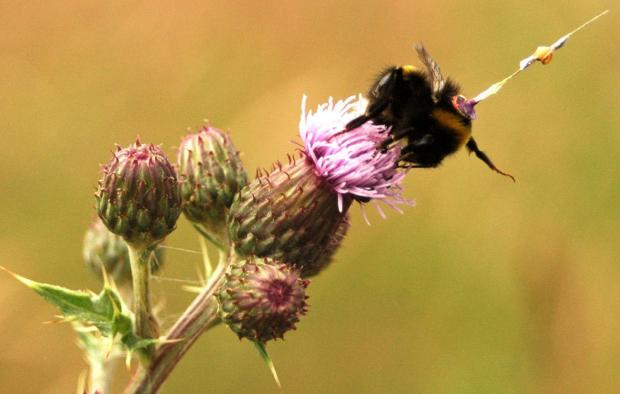 The bees had a tiny harmonic radar attached to monitor their movements (Joseph Woodgate)
