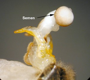 CATCH THE BUZZ – Leading insecticide cuts bee sperm by almost 40%, study shows