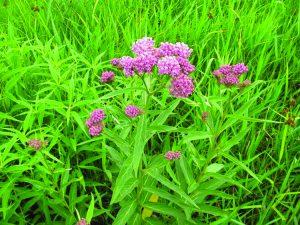 Prairie milkweed (Asclepias sullivantii)