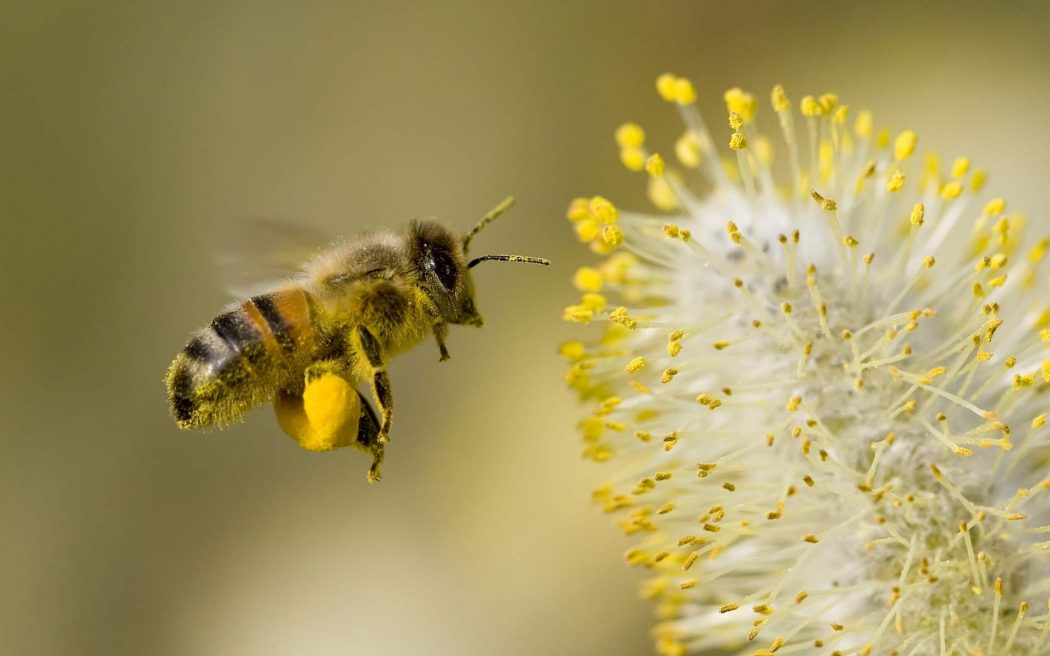 Honey-Bee-Flowers-Widescreen