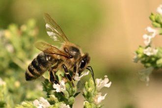 Honey-bee-on-oregano_5632-620x285