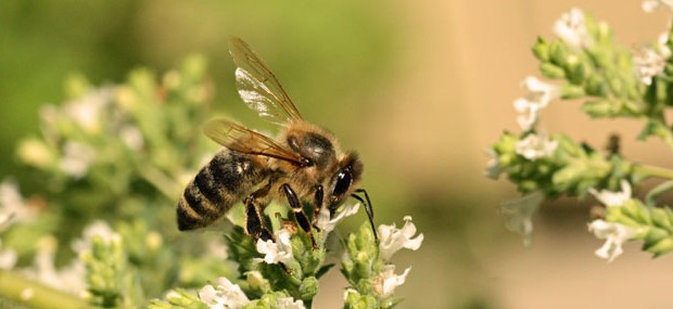 Honey-bee-on-oregano_5632-620x285