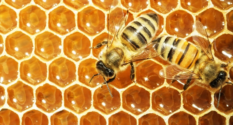Working-bees-on-honey-cells-Shutterstock-800x430