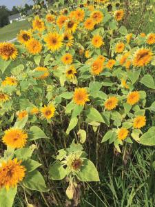 Mini sunflower.