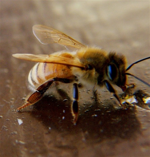 CATCH THE BUZZ – Even Sick Bees Can Find Food and Feed The Hive