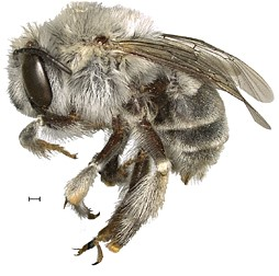 CATCH THE BUZZ – Rock-boring Bee Named after Ancient Pueblo Native-American Cliff Dwellers