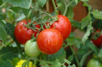 tomato-gardening3