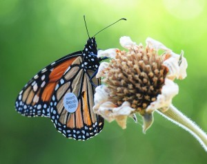CATCH THE BUZZ – Mighty Male Monarch Flies Over 40 Miles A Day Toward Winter Home On California Coast