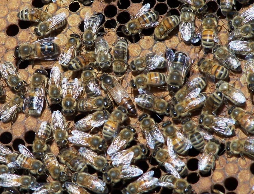 CATCH THE BUZZ – No single protein determines queen development in honeybees