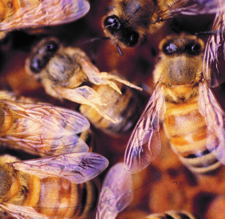 CATCH THE BUZZ – Scientists have shown that the drone can leave behind a virus that may infect the queen with the disease deformed wing virus. The Queen dies, the colony does too.