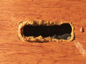 In this figure, the bees are attempting to close an inner cover bee escape hole, which is an indication that they want control over ventilation.