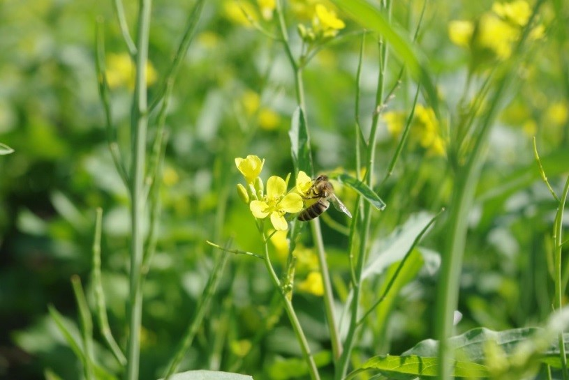 The aim of the project is to ensure pollinators, such a honey bees, receive a steady supply of food resources, which will in turn support crop yields