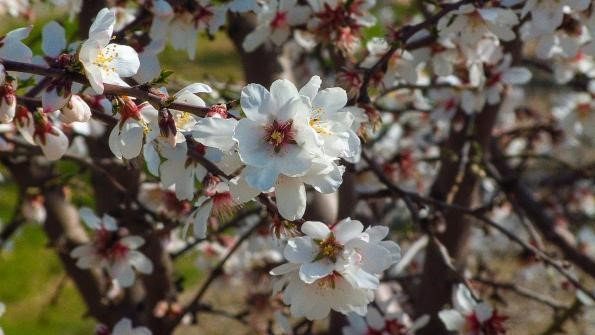 CATCH THE BUZZ – New Plant Growth Regulator Labeled For Almonds In Bloom