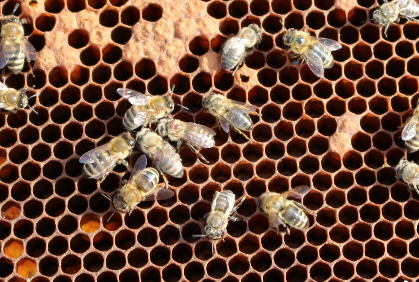 CATCH THE BUZZ – New findings about the honey bee's deformed wing virus