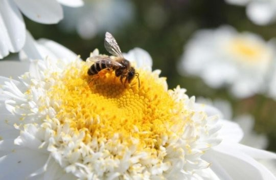 CATCH THE BUZZ – Bees use a variety of senses and memory of previous experiences when deciding where to forage for pollen, research suggests.