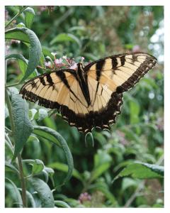 Swallowtail in the Pollinator Garden (photo by Loucinda Main)