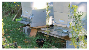 These backyard hives are each equipped with a muzzle which allows the bees to come and go while discouraging the Asian hornet. (photo by Michael Judd)