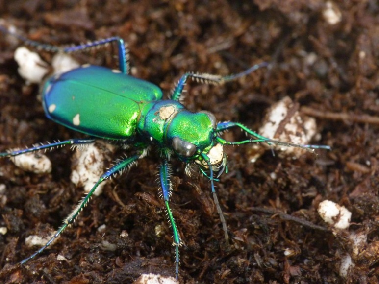 CATCH THE BUZZ – Common insecticides are riskier than thought to predatory insects