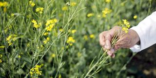 CATCH THE BUZZ – GE mustard vs bees: Attention generated for the key pollinator will benefit farmers