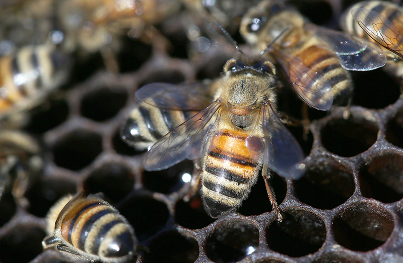 Varroa mites are considered the biggest bee health problem worldwide. Here, a Varroa mite has latched on to the upper-right side of a honeybee's abdomen to feed. (Purdue Agriculture/Tom Campbell)