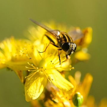 CATCH THE BUZZ – Some flies can detect chemical signals – alarm pheromones – that bees give off when attacked. Some flowers use that to trick the flies.